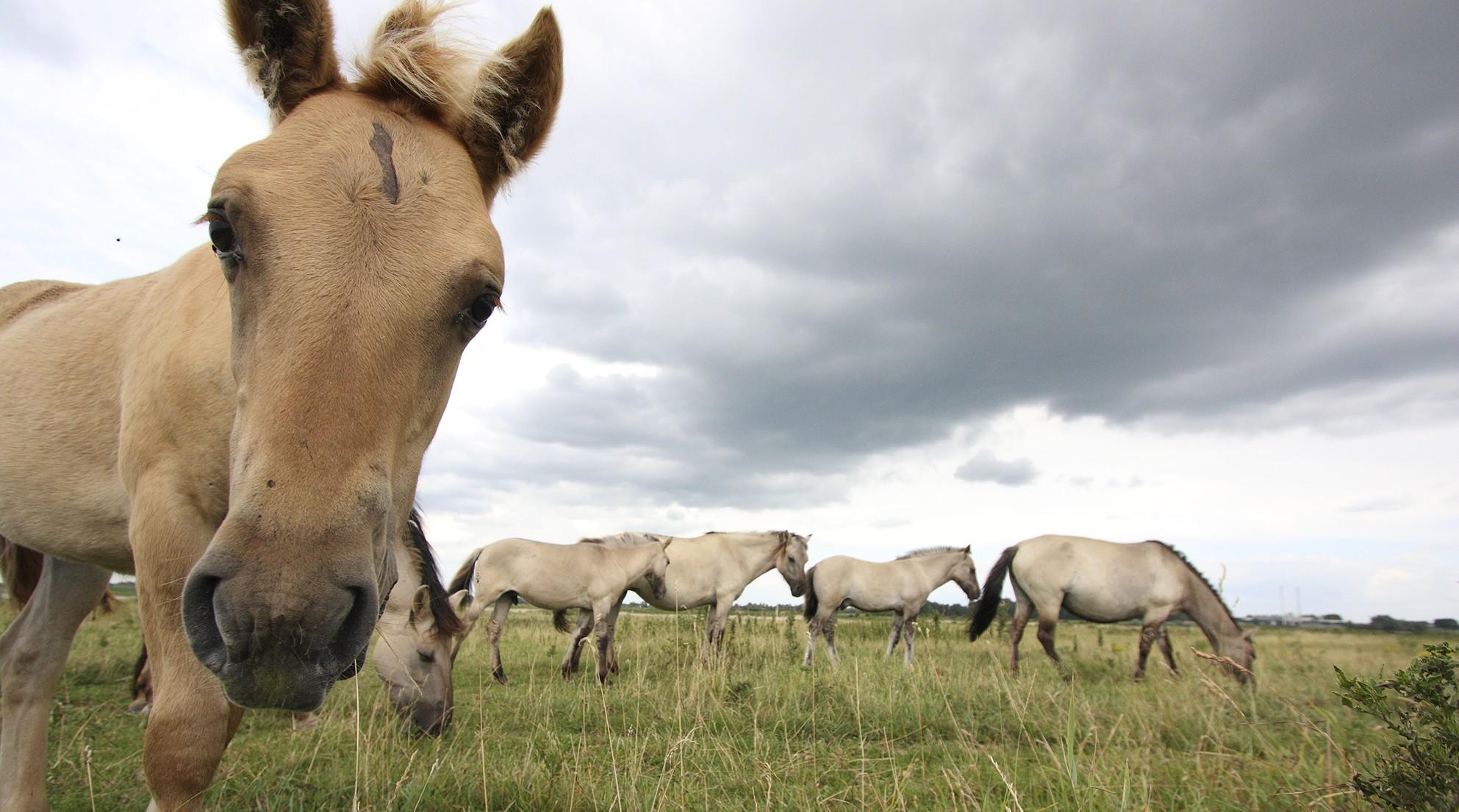 fort pannerden konikpaarden free nature klompenwaard